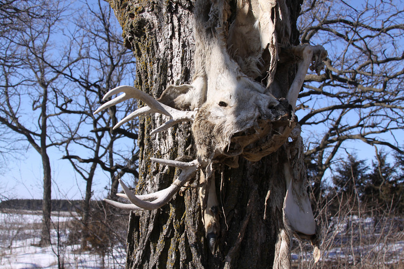 Walking around the woods this spring and came across this buck in a tree??????