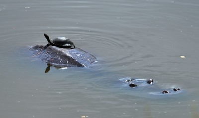 Turtle riding piggy back on hippo - Near Berg-en-Dal Rest Camp……………….[ Copyright © - Photo by Barry Jucha ]