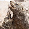 <strong><center><b>The coastline of Southern Africa is the only place in the world where you can find the Cape fur seal (Arctocephalus pusillus pusillus). They fight, mate, reproduce and fish in the Cape Cross Seal Reserve, home to the largest breeding colony of these seals on the planet, with at times up to 210,000 seals present during November and December. Cape Cross is a small headland in the South Atlantic in Skeleton Coast, western Namibia.