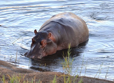 Hippo ……………….[ Copyright © - Photo by Barry Jucha ]