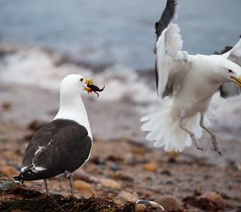 seagulls on block island