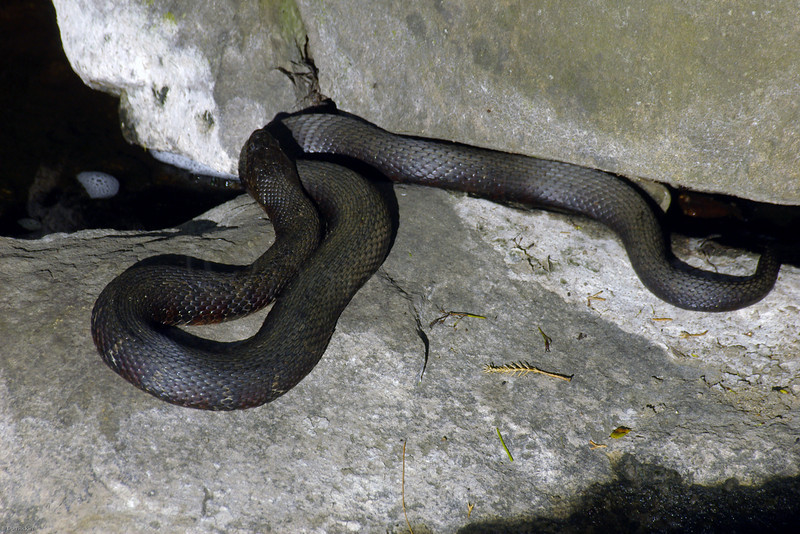 Black Rat Snake Resting Down Stream from Mill Wheel, Old Grist Mill, Wayside Inn, Sudbury, MA