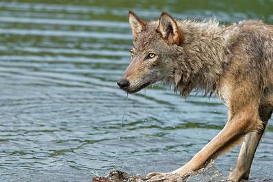 USA, Minnesota, Sandstone, Minnesota Wildlife Connection. Grey wolf on a log in the water splashing.