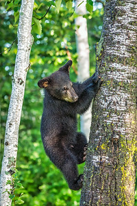 USA, Minnesota, Sandstone, Minnesota Wildlife Connection.  Black bear cub climbing a tree.