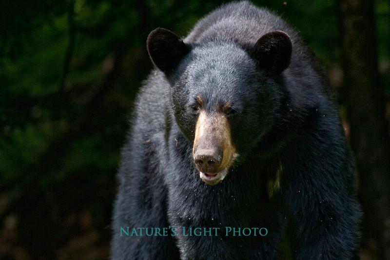 Black Bear, Bedford, New Hampshire
