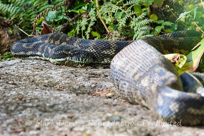 Eastern Carpet Python
