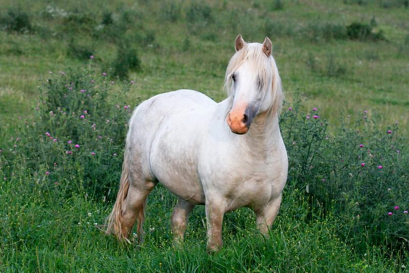 Welara Horses