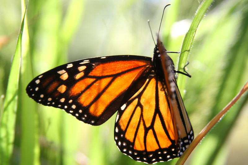 Lit from behind, a Monarch butterfly.