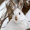 Snowshoe Portrait 2
