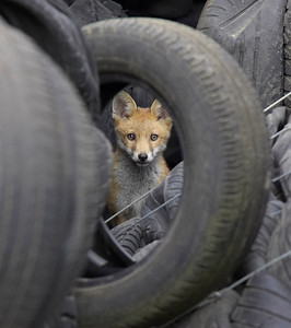 Fox cub looking through tyre
