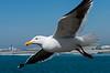 170405 - 0321 California Sea Gull