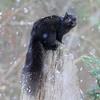 """ Black Squirrel Says Let It Snow ""  2"