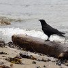 Raven on Deadwood on Beach