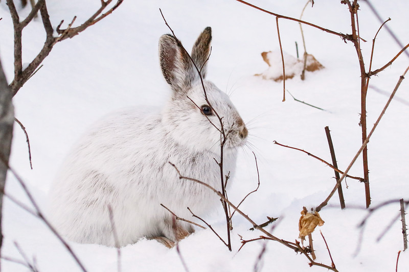 Close Encounter with a Snowshoe Hare 17