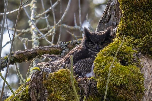 Owl on the nest