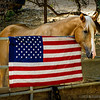 "Ransom...<br /> <br /> Meet Ransom, a beautiful four year old palomino. His owner was kind enough to get him to pose by Old Glory that she had hung on his corral. <br /> <br /> Schabarum Regional Park<br /> Rowland Heights, CA<br /> <br /> Thank you for your comments on my ""H"" for Harlequin bug post yesterday!<br /> <br /> Critiques welcome...<br /> <br /> Happy Labor Day!  2 September 2013"
