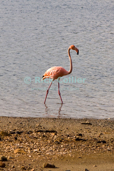 "Bonaire, Netherland Antilles -- Flamingos flock and nest in the lakes at the north of Bonaire.     © Rick Collier<br /> <br /> <br /> <br /> Bonaire; ""Netherlands Antilles""; Caribbean; tropic; tropical; vacation; destination; wildlife; fauna; bird; flamingo; flamingos;"