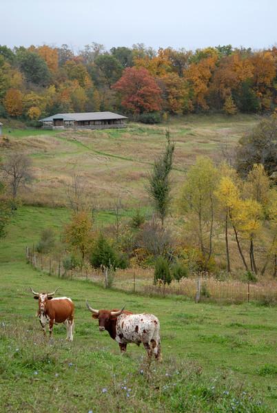 Long Horned Cows outsize Elizabeth, IL on Terrapin Ridge