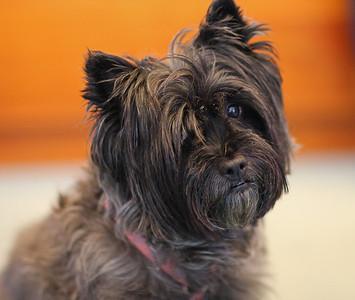 Zymie, my friend's Cairn Terrier