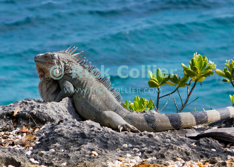 "Bonaire, Netherland Antilles -- The Antillean iguana, a protected species, is found all over Bonaire.   © Rick Collier<br /> <br /> <br /> <br /> Bonaire; ""Netherlands Antilles""; Caribbean; tropic; tropical; vacation; destination; wildlife; fauna; lizard; iguana; ""Antillean iguana""; ""Lesser Antillean Iguana"";"