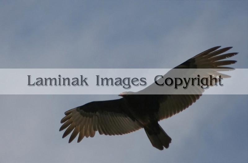 A turkey vulture in flight