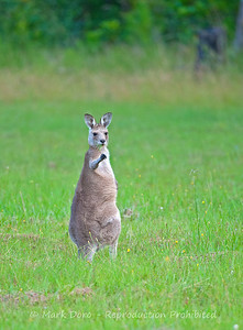 Eastern Grey Kangaroo, Tea Gardens, NSW