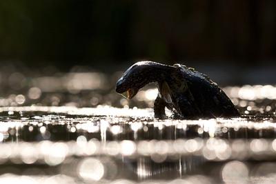 Kärrsköldpadda