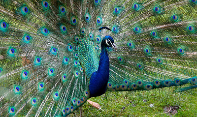 Peacock (Indian Peafowl) at the Bronx Zoo (July 2011)