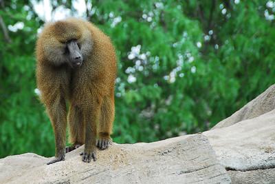 Brookfield Zoo - Monkey