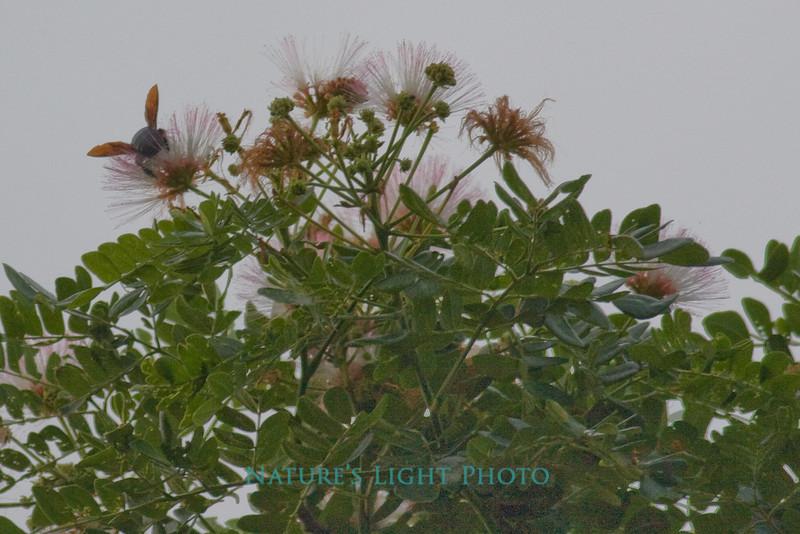 Carpenter Bee - Palo Verde NP, Costa Rica-0330
