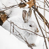 Close Encounter with a Snowshoe Hare 18