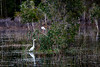 20210216 - 3148 Great Egret & White Ibis