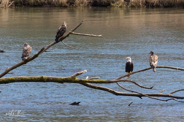Four Eagles