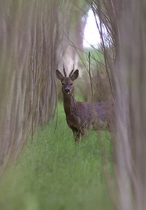Roebuck in willows