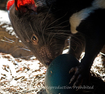 Tasmanian Devil (captive), with Emu egg, Healesville Sanctuary, Victoria
