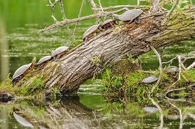 Turtle Trunk