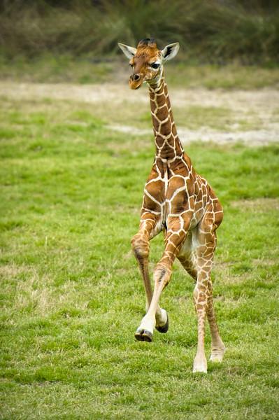 Two-week old giraffe calf prancing at the Jacksonville zoo.