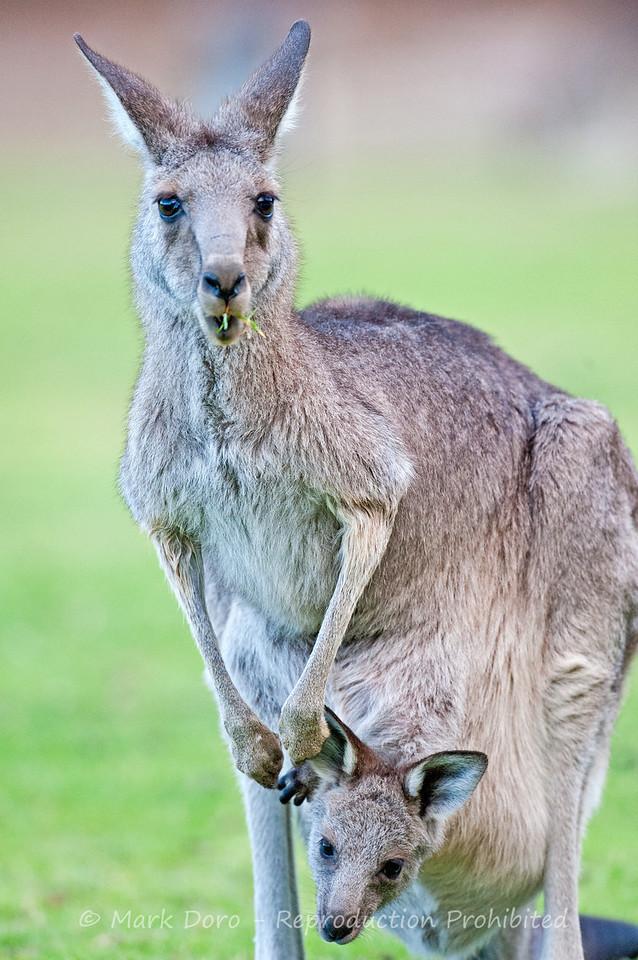 Eastern Grey Kangaroo & Joey, Little Desert, Victoria