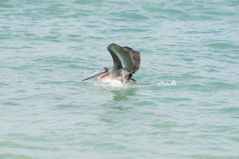 """Advice from a pelican: Wade into life, Look beneath the surface, Soar over rough waters, Stretch yourself, Go fish."""