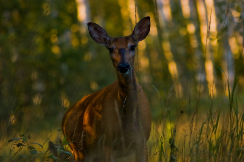 Whitetail Deer-2077