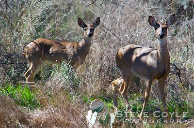 This pair of doe were watching us on the trail at Inks Lake State Park.