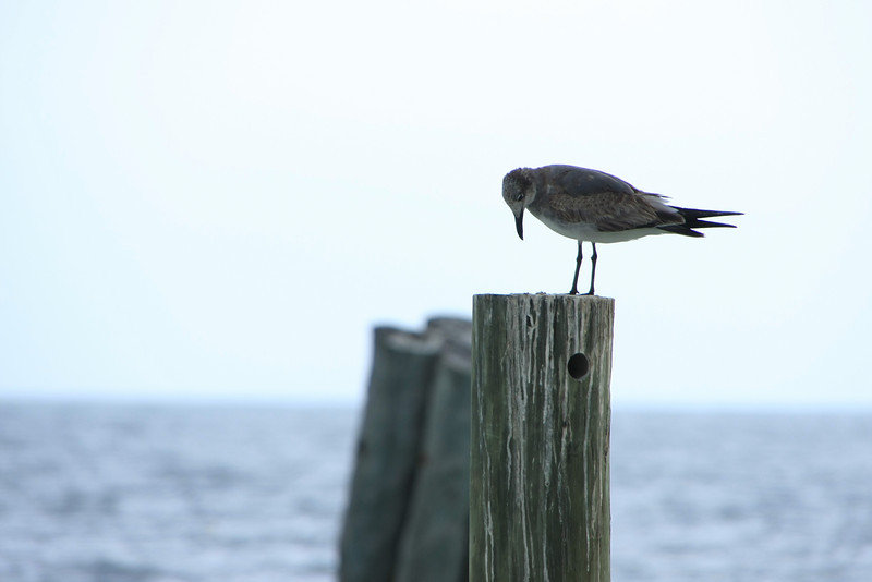Bird on a Pier, Cancun, Mexico