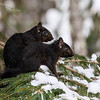 Black Squirrel 5  ( Side By Side)