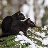 Black Squirrel 5  ( Side By Side)
