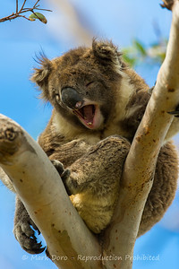 I am seriously tired. Male Koala, Cape Otway Lighthouse, Victoria