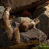 9.15.2011<br /> <br /> California ground squirrels...<br /> <br /> Creek Park, La Mirada, CA