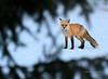 Fox Through the Pines