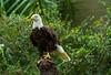 100130 - 1021 Bald  Eagle