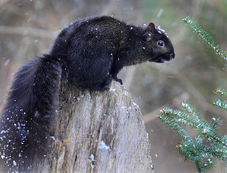 """  Black Squirrel Says Let It Snow  """