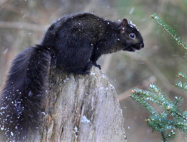 """  Black Squirrel Says Let It Snow  """